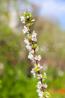 Branch of blossoming fruit trees in a sunny spring day.