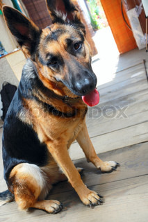 cute young female shepherd dog's portrait against an open door