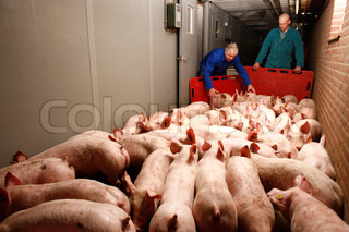 pigs on their way to the slaughterhouse