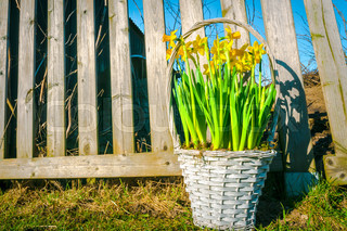 Daffodils in a braided basket