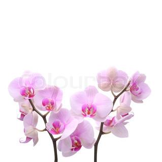 Billede af 'hylster, blomstret, duft'