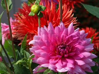 Billede af 'lyserød, lyserødt, pink'