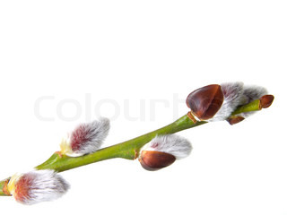 close up photo of a branch  pussy willow