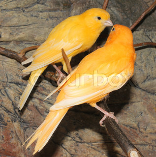 Image of 'canary, bird, yellow'