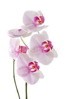 Billede af 'phalaenopsis, romance, kronblad'