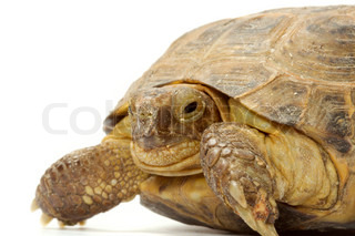 Young overland turtle on a white background.