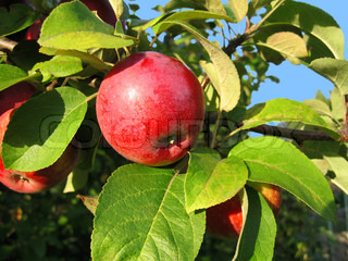 red shiny delicious apple hanging from a tree branch