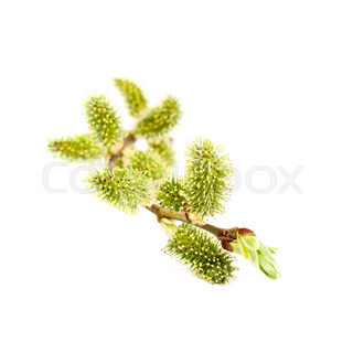 Blooming willow branch on white background.