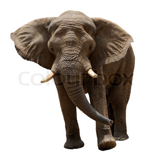 Elephant, the largest land animal, isolated