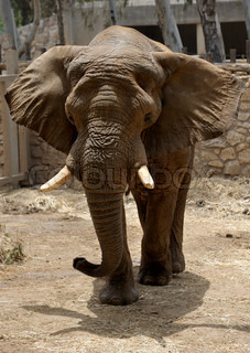 Elephant, the largest land animal