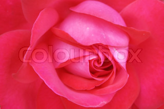 closeup photo rose flower