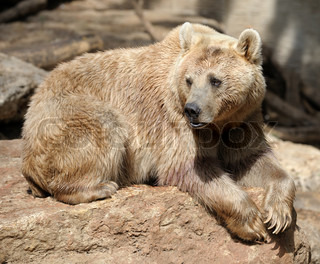 Syrian bear with light fur