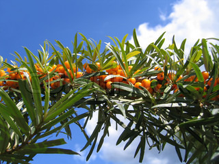 branch of sea buckthorn berries on blue sky background