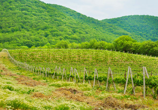 Hill With Vineyard In The Russia