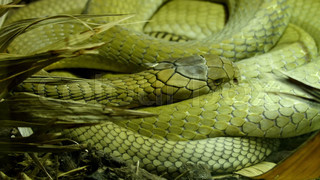 4619_A_green_big_king_cobra_curling_up_on_a_grass.mov