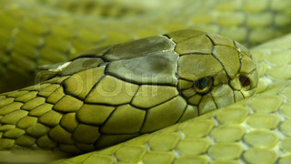 4620_Green_and_shiny_scales_of_the_king_cobra_curling_up_on_the_grass.mov