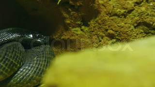 4697_A_green_shiny_scaled_skin_snake_on_a_rock.mov