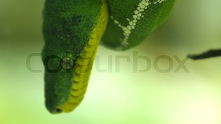 4841_An_emerald_tree_boa_snake_on_a_branch_of_a_tree.mov
