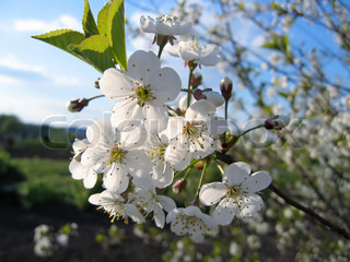 beautiful branch of a blossoming tree with white flowers