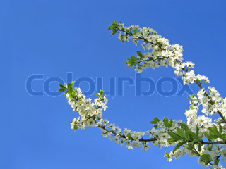 branch of blossoming tree on blue sky background