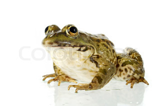 The marsh frog closely looking at the photographer.