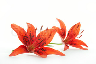 Red lily on a white background