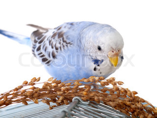 budgerigar on cage