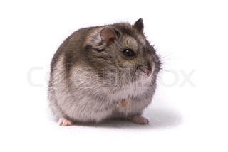 Image of 'hamster, hairy, dwarf'