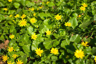 Spring background with beautiful yellow flowers and green leaves