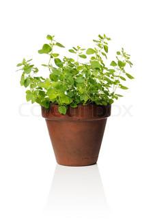 Billede af 'oregano, potteplanter, havearbejde'