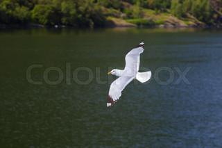 Seagull bird in Norway fjord