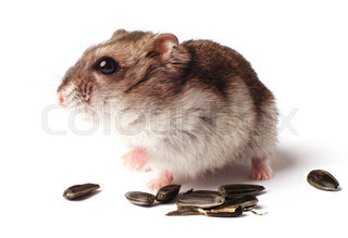 hamster with grain on white background