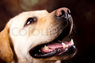 Golden Labrador, colorful saturated concept
