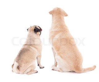 friendship concept - back view of two sitting dogs isolated on white
