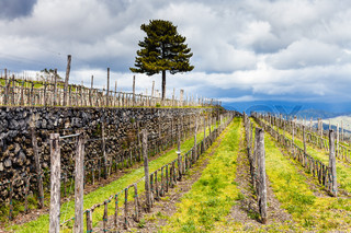 empty vineyard in Etna agrarianl region in spring