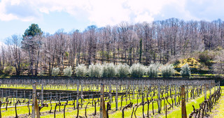 empty vineyard in Etna winemaking area in spring