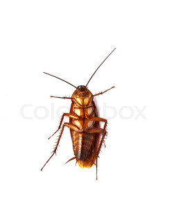 Close up of cockroach isolated