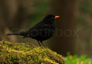 Common Blackbird sitting on stump of tree