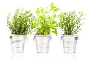 Sage, thyme and rosemary herb plant growing in a distressed pewter pot, isolated over white background. Salvia.