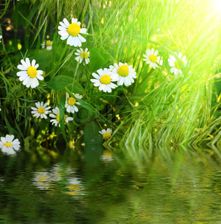 Daisies grønne græs