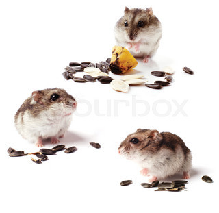 set of hamsters with grain on white background