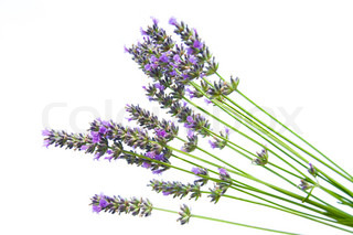 Bunch of dried lavender on white background