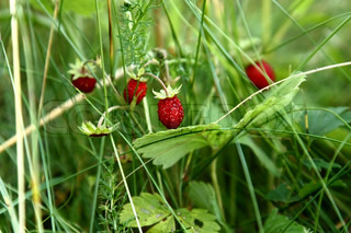 Image of 'strawberry, wild, strawberries'