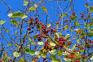Red berries against blue sky in autumn
