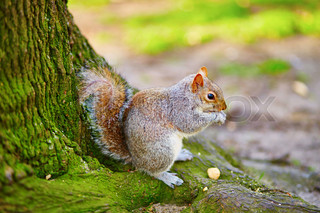 Squirrel eating nuts in Regent's park of London