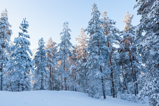 Winter forest and snow in finland