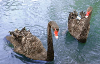 Two black swans. A deep reservoir, the wild nature