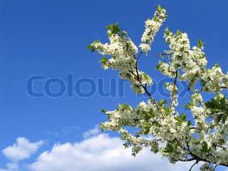 blossoming tree with white flowers on blue sky background