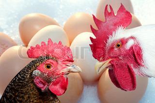Billede af 'høne, hvid, hane'