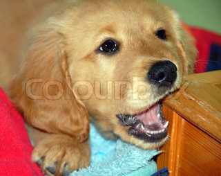 Dog gnawing wooden step